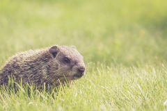 Baby groundhog in the grass Stock Image