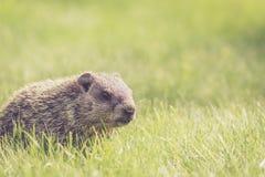 Baby groundhog in the grass. Adorable baby groundhog, Marmota Monax stock image