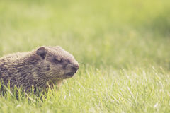 Baby groundhog in the grass with eyes closed Stock Images