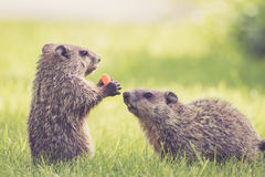 Baby groundhog in the green grass. Adorable baby groundhogs, Marmota Monax, sharing a carrot royalty free stock images