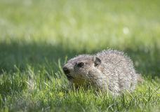 Baby groundhog in the green grass Stock Images
