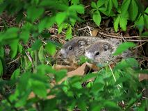 Baby Groundhogs in Aard Royalty-vrije Stock Afbeelding