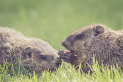 Baby groundhogs nudging. Adorable baby groundhogs Marmota Monax are nudging and sharing a carrot royalty free stock image