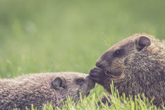 Baby groundhogs nudging. Adorable baby groundhogs Marmota Monax are nudging and sharing a carrot stock image