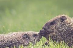Baby groundhogs nudging Stock Image
