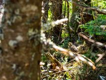 Baby Grouse in a Dense Forest stock images