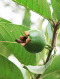 The Baby Guava. The Fresh Baby Guava Fruit on a farm Stock Photo