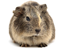 Baby guinea pig. A small baby guinea pig against a white background royalty free stock images