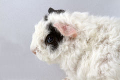 Baby guinea pig. Portrait of young merino guinea pig Stock Images