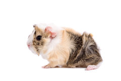 Baby guinea pig Stock Photos