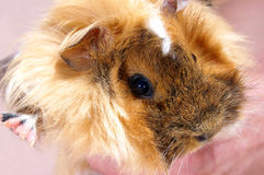 Baby Guinea pig. Home animal - a Baby guinea pig beige colour close-up royalty free stock photo