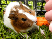 Baby Guinea Pig 3. A close-up view of a baby Guinea Pig being fed a carrot stock photo