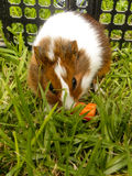 Baby Guinea Pig 2. A close up view of a baby Guinea Pig eating a carrot royalty free stock photo