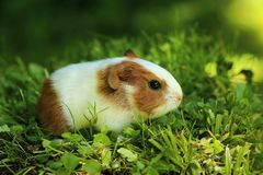 Baby guinea pig. Cute baby guinea pig in grass royalty free stock photos