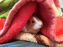 Baby guinea pig. Getting warm in blanket stock images