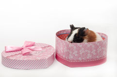 BABY GUINEA PIG HEART SHAPED BOX Stock Image