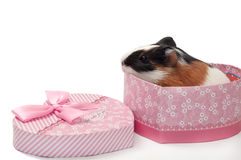BABY GUINEA PIG HEART SHAPED BOX Royalty Free Stock Images