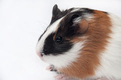 BABY GUINEA PIG Stock Image