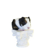 Baby guinea pig on the pedestal. Baby guinea pig standing on the pedestal isolated Stock Photo