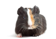 Baby guinea pig Royalty Free Stock Photos