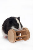 BABY GUINEA PIG WITH WOODEN TOY. OVER WHITE BACKGROUND royalty free stock image