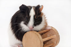 BABY GUINEA PIG WITH WOODEN TOY Stock Images