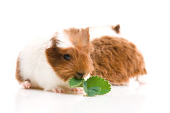Baby guinea pigs Stock Photo