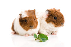 Baby guinea pigs Royalty Free Stock Images