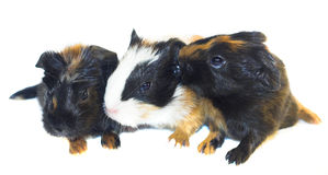 Baby guinea pigs isolated. Three baby guinea pigs isolated Royalty Free Stock Images