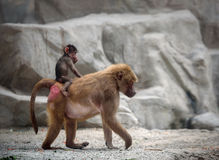 Baby Hamadryas baboon and its mom Stock Photography