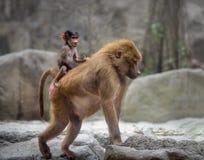 Baby Hamadryas baboon and its mom Stock Photo