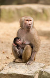 Baby hamadryas baboon with mother Stock Photo