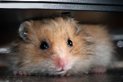 Baby Hamster Royalty Free Stock Image