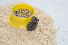 Baby hamster dzhungarik near the trough. Baby hamster dzhungarik walk on the sawdust Stock Image