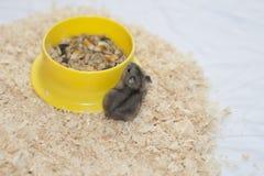 Baby hamster dzhungarik near the trough. Stock Image