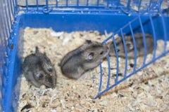 Baby hamster dzhungarik. Royalty Free Stock Image