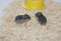 Baby hamster dzhungarik. Baby hamster dzhungarik walk on the sawdust Royalty Free Stock Images