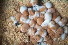 Baby hamsters sleeping stock photography