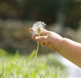 Baby hand closup cutting a dandelion Stock Image
