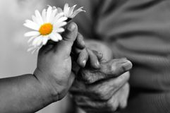 Baby hand gives chamomile for older woman on holiday.black and white photo stock photo