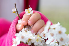 Baby hand holding a blooming branch Stock Photo