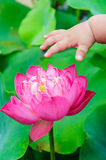 Baby hands  touch  lotus Royalty Free Stock Photos