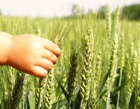 Baby hands touching wheat Royalty Free Stock Photo