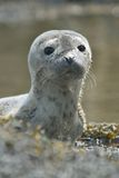 Baby Harbor Seal royalty free stock images