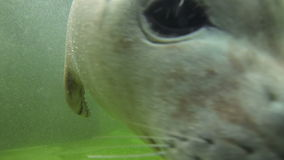 Baby Harbor seal pose for the video camera stock video