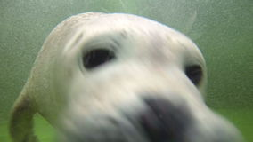 Baby Harbor seal pose for the video camera stock video footage