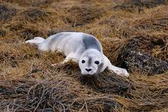 Baby Harbor Seal on Seaweed Stock Photo