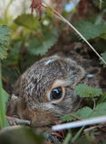 Baby hare. Hiding from the world in his cache Royalty Free Stock Image