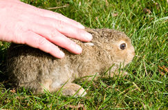 Baby hare Stock Images