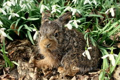 Baby hare. In a spring garden in Poland royalty free stock photography